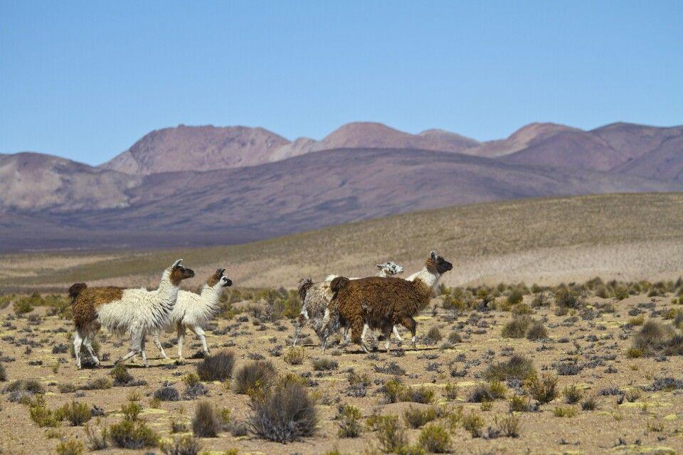 Lamas unterwegs im chilenischen Altiplano
