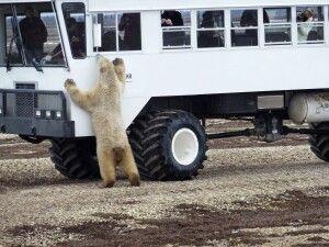 Spezielles Allrad-Fahrzeug zur Bärenbeobachtung