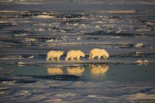 Drei Eisbären im Packeis