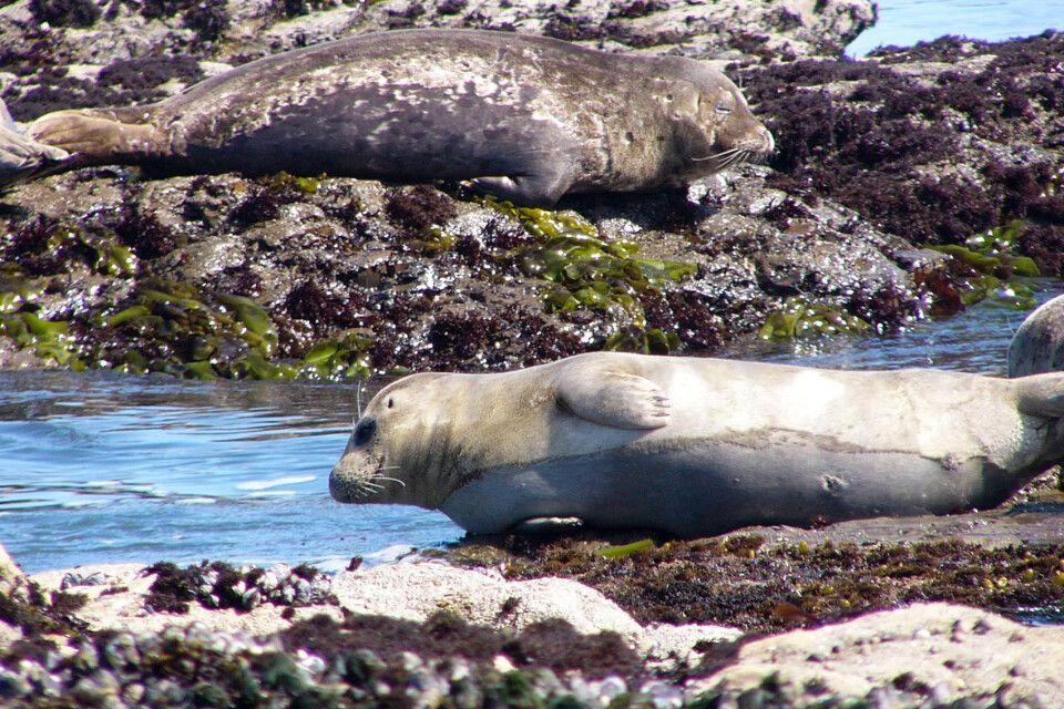 Seehunde an der Westküste