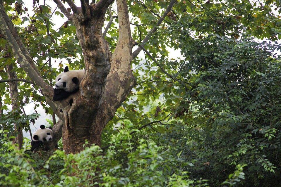 Pandas schauen neugierig zwischen Baumwipfeln hervor