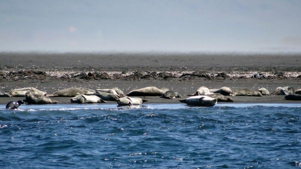 Seehunde bei Hvitserkur