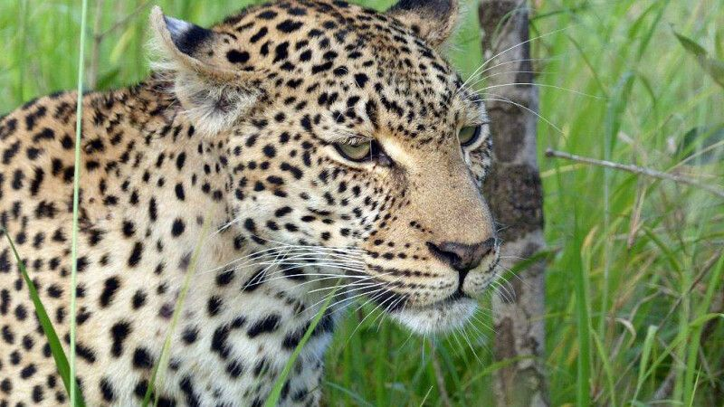 Leopard im Krüger Nationalpark © Diamir
