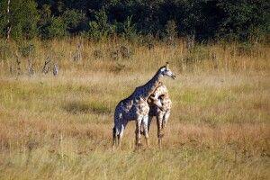 Giraffen im Hwange-Nationalpark