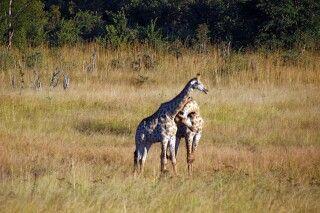 Giraffen im Hwange Nationalpark