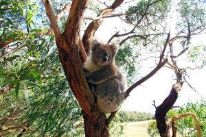 Ein Koala auf Entdeckungstour