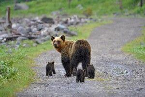 Bärenmutter mit Nachwuchs auf Hokkaido