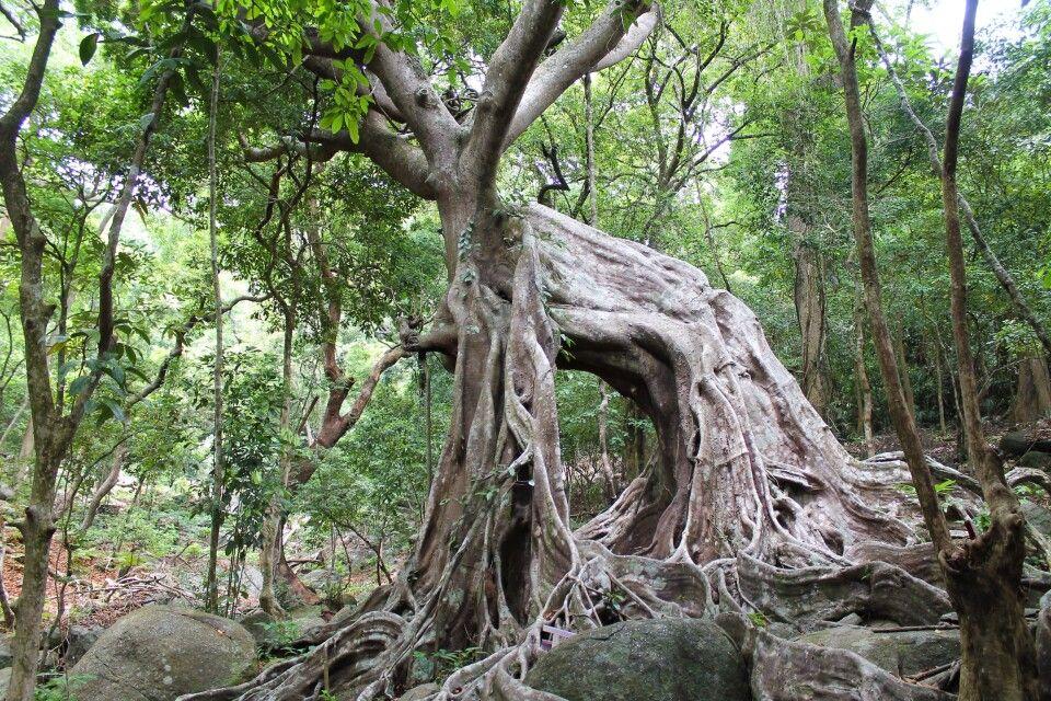 bizarr verwurzelte Bäume auf der auf der Son-Tra-Halbinsel