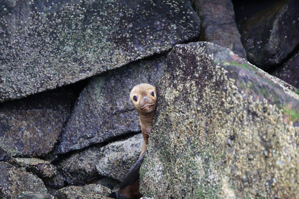 Tierbeobachtung im Süden Chiles: Eine Robbe schaut neugierig nach dem menschlichen Besuch und versteckt sich hinter einem Stein. Kreuzfahrt im Süden Chiles mit Skorpios II.