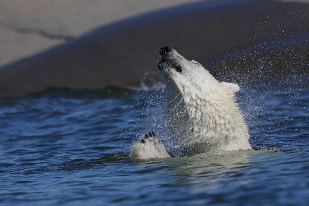 Sich schüttelnder Eisbär