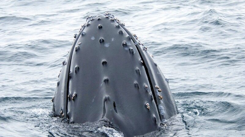 Nahaufnahme eines Buckelwals © Diamir