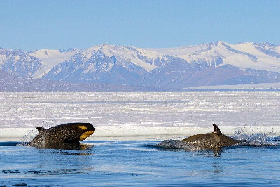 Orcas an der Eiskante