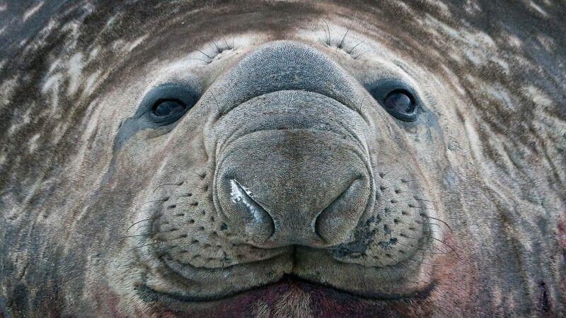Eindrucksvolles Portrait eines See-Elefanten © Diamir