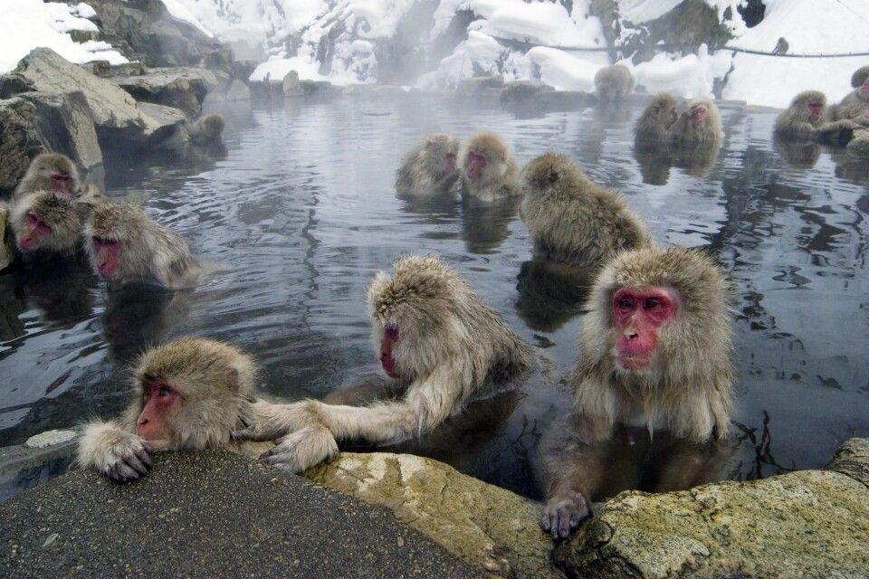 Japanmakaken im Jigokudani Nationalpark