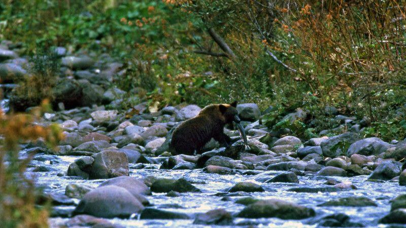 Braunbären auf Hokkaido © Diamir