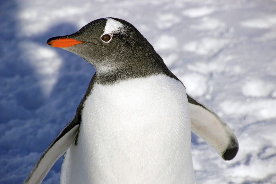 Eselspinguin-Portrait