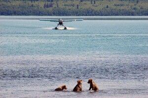 Drei junge Bären beim Spielen im Katmai NP
