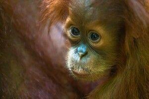 Sumatra-Orang-Utan-Junges