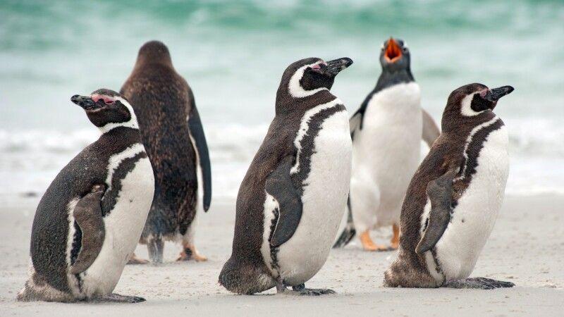 Magellanpinguine auf Falkland © Diamir