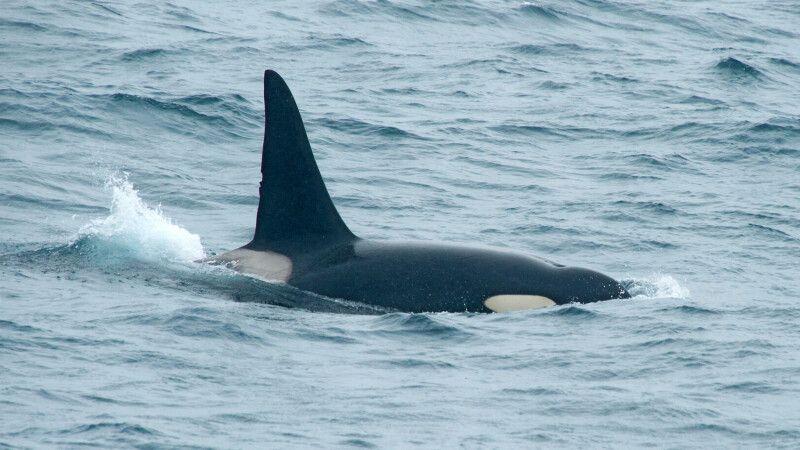 Orca © Diamir