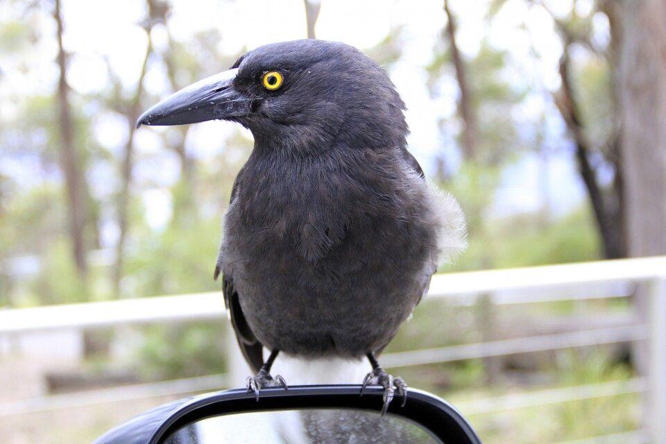 Tierwelt Australiens
