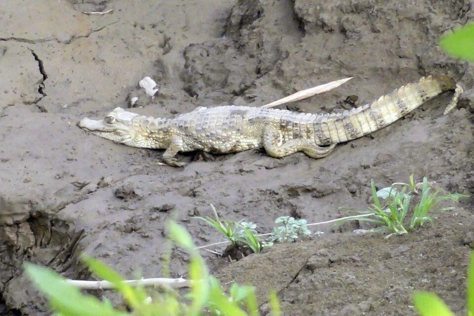 Brillenkaiman am Flußufer im Tambopata-Nationalpark
