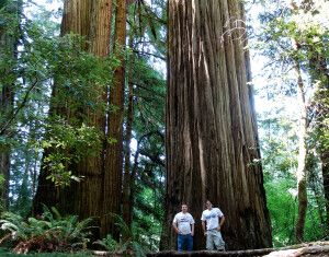Gigantische Redwood-Bäume