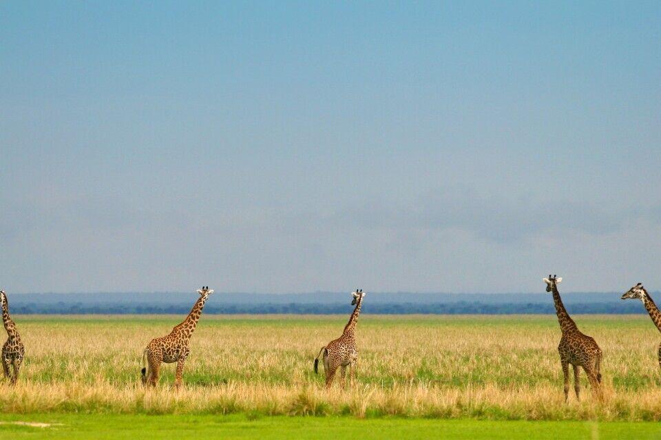 Giraffen im Katavi NP