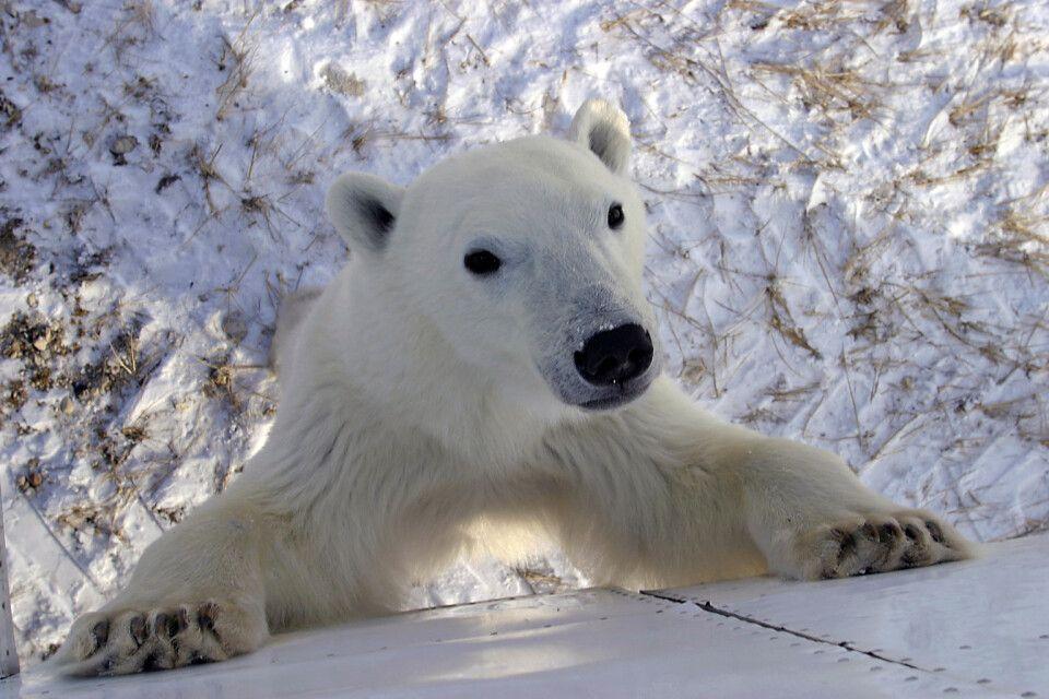 Neugieriger Eisbär am Tundra-Fahrzeug