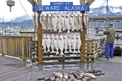 Frisch gefangener Fisch in Seward