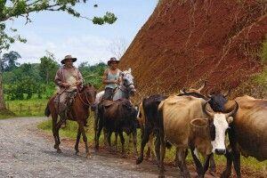 Rinderhirten führen ihre Rinder