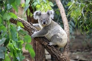 Koala im Grampian Nationalpark