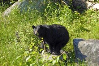 Schwarzbär bei Duchesnay