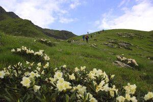 Wilder Rhododendron