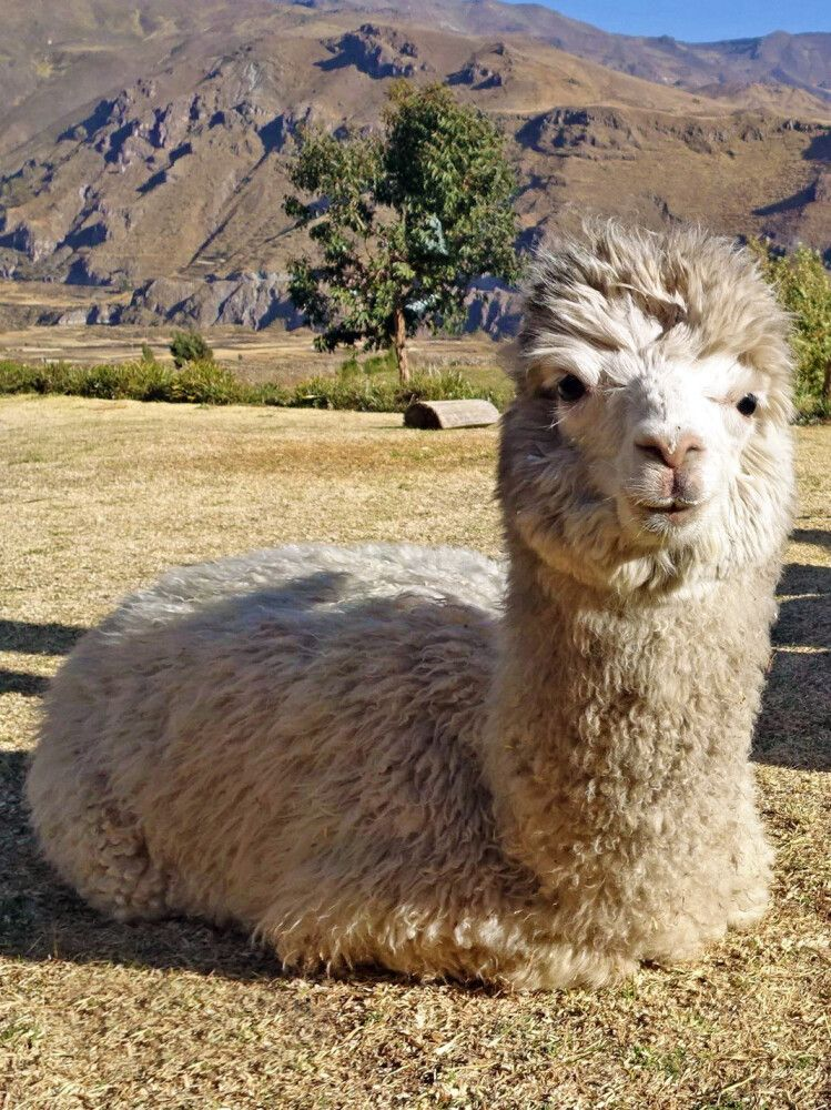 Neugieriges Alpaka