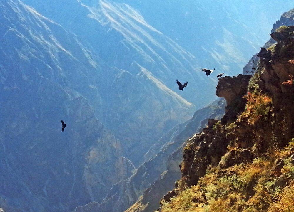 Kondore im Colca-Tal