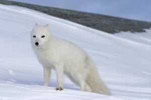 Polarfuchs im Winterkleid