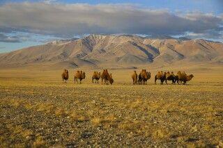 Kamele in der mongolischen Steppe