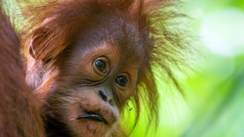 junger Orang-Utan auf Sumatra © Diamir