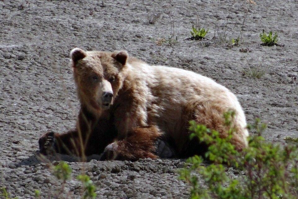 Grizzlybär beim Faulenzen