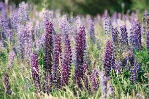Blumenmeer Neuseeland