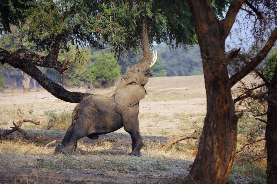 Lower Sambesi Safari Elefant