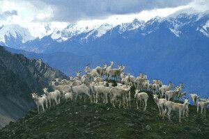 Dall-Schafe im Kluane NP