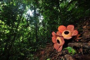 Rafflesia im Royal Belum NP