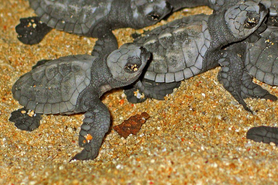 junge Schildkröten am Strand