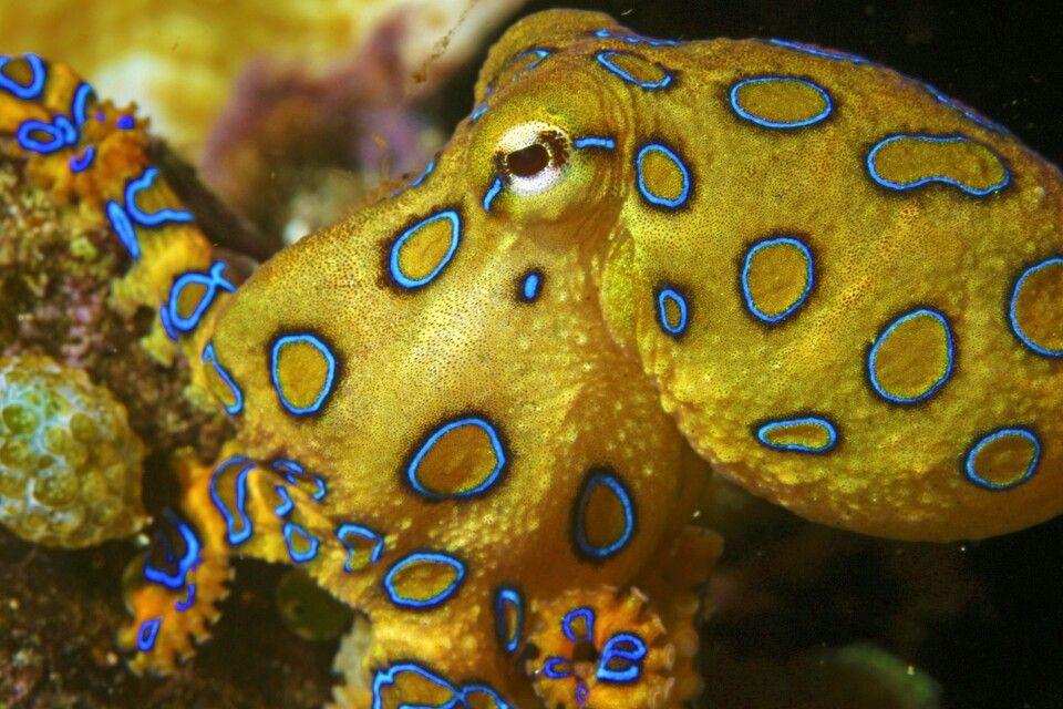 Blauring-Kraken vor Sulawesi