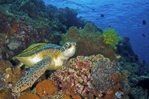 Schildkröte im Bunaken NP