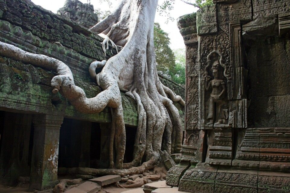 Der von Würgfeigen überwachsene Tempel Tha Promh in Angkor