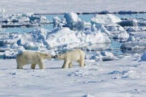 Die ersten Eisbären