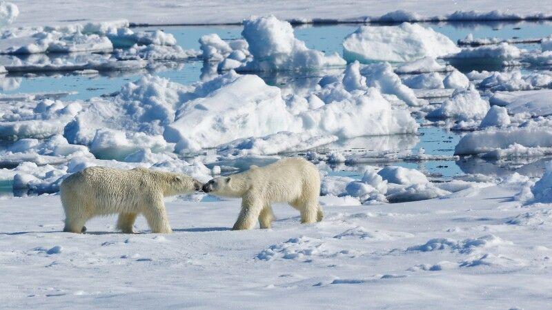 Die ersten Eisbären © Diamir
